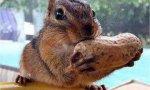 Streifenhörnchen beim Hamstern