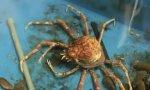 Alien entlarvt: Japanische Spinnenkrabbe