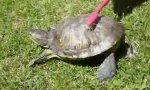 Schildkröte geht ab