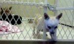 Cleverer Chihuahua bei der Flucht