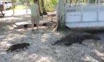 Katze vs Aligator