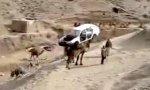 Kamel-Abschleppdienst