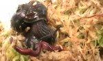 Monster-Regenwurm gegen Schnecke