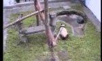 Panda hat die Schnauze voll