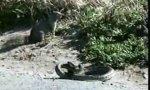 Eichhörnchen gegen Schlange
