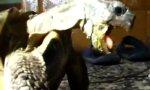 Schildkröte liebt alten Puma