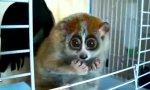 Kraul-Lemur ist zurück