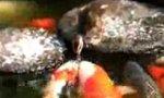 Feeding The Koi Carps