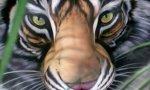 Weltsensation: Tiger mit drei Muschis